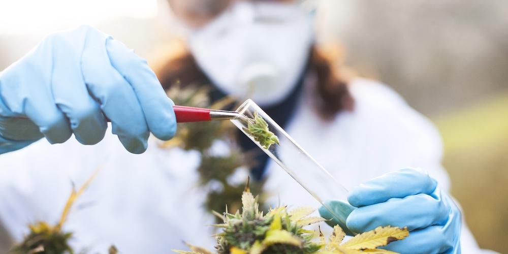Blog Marijuana A Medical Perspective Feature